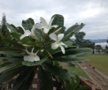 First Bloom of the Frangipani Sept 2014